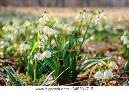 Snowdrop Flowers On The Forest Glade. Sunny Springtime Scenery. White Leucojum Aestivum Bloom Symbol