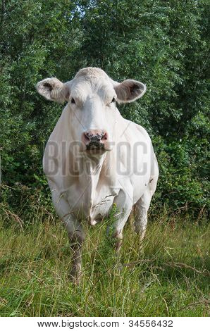 White Cow Looking Curiously