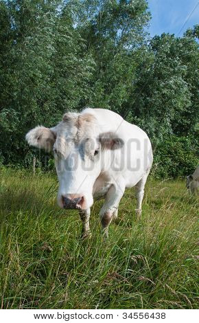 White Cow Walking To The Photographer