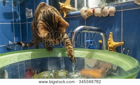 Young Bengal Cat Sitting Next To The Glass Slink And Playing With Flowing Water. Funny Background. A
