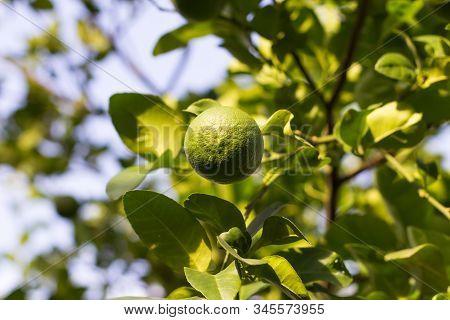 Bergamot On Tree Green And  Selective Focus