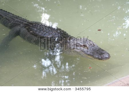 Alligator floating in the water in the wild poster