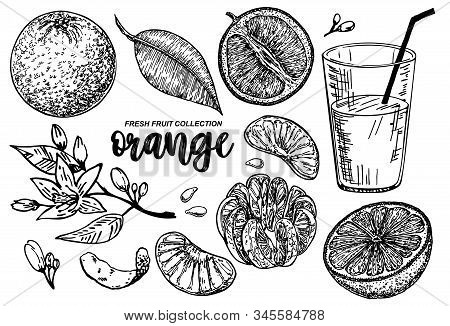 Orange Set Sketch. Collections Of Oranges. Branches With Citrus Fruits. Flowering Plant With Leaves.