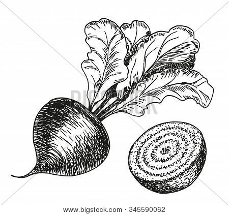 Vector Hand Drawn Set Of Beetroot. Farm Vegetables Isolated. Engraved Art. Organic Sketched Vegetari