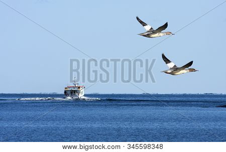 Barsta, Sweden On October 01. A Couple Of Goosanders Pass An Inlet On October 01, 2011 By The Baltic