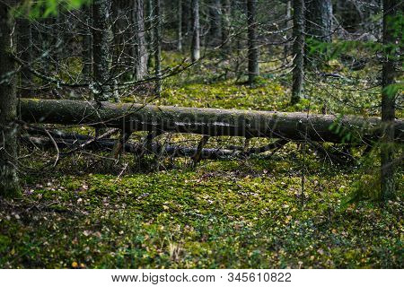 Fallen Tree In The Forest. Green Moss And Green Plants Grow In A Wild Forest On An Old Fallen Tree.