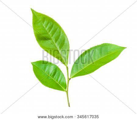 Green Tea Leaves Isolated On White Background, Fresh Green Tea Leaves