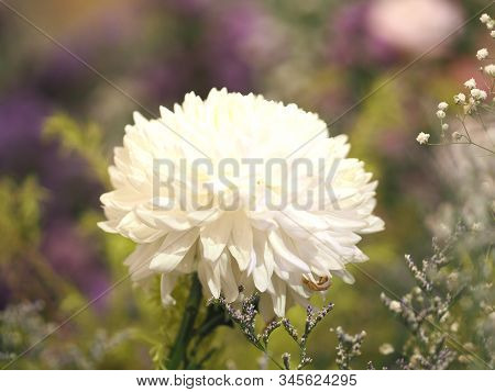 White Daisy Flower On Bush Blurred Of Nature Background Space For Copy Write