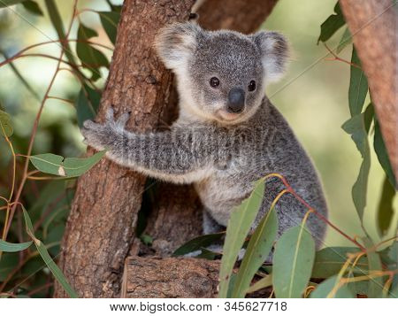 Koala Joey Hugs A Tree Branch Surrounded By Eucalyptus Leaves