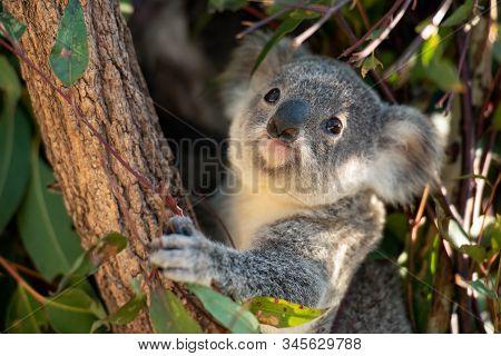 Koala Joey Hugs A Tree Branch And Looks For Fresh Eucalyptus Leaves