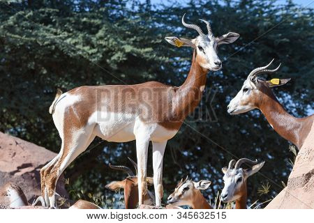 A Critically Endagered Sahara Africa Resident, The Dama Or Mhorr Gazelle At The Al Ain Zoo (nanger D