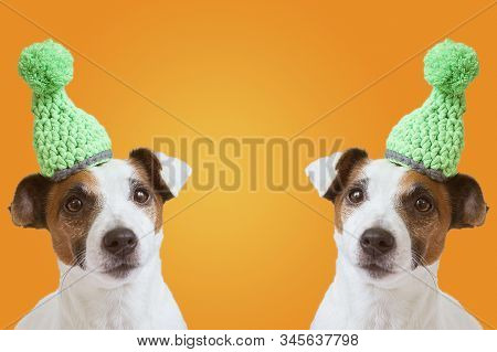 Collage - Two Jack Russell Terrier Isolated In A Knitted Hat On A Yellow Background. Jack Russell Te