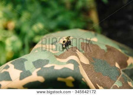 Bombus Norvegicus, A Species Of Bumblebee Cuckoo, Male Insect Sits On Clothing