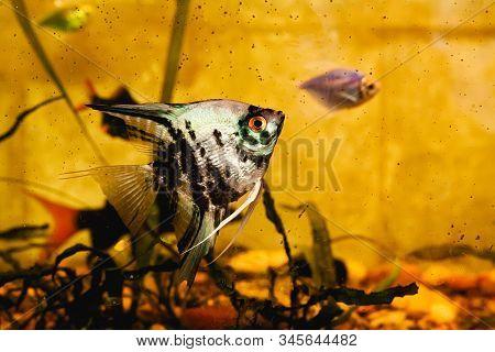 Dirty Aquarium With Fish, Angelfish Closeup. Stock Photo Of A Dirty Aquarium.