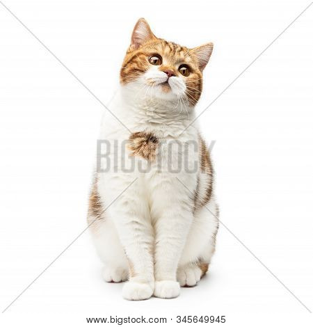 British Cat Sitting Isolated On White Background. Young Shorthair Cat Sitting Looks Up With Beautifu