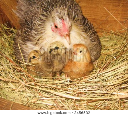 easter chicken with baby chicks in straw in hen box newborn newly hatched poster