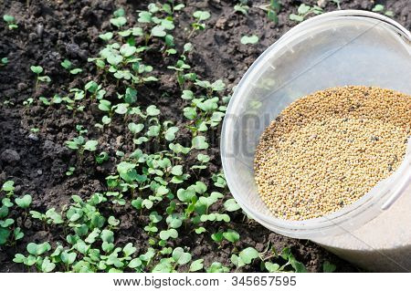 A Lot Of Mustard Seeds In The Opened Translucent Bucket Is Ready For Being Seyed On The Ground In A