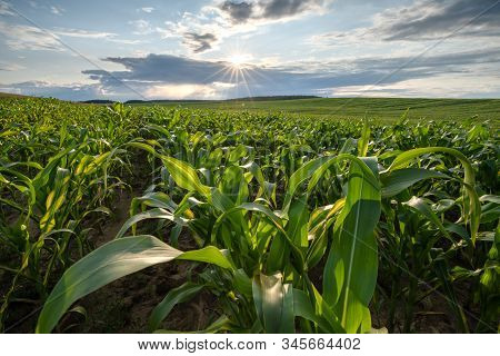 Bright Sunny Day At The Corn Field. Green Lush Corn On The Field. Beautiful Blue Sky