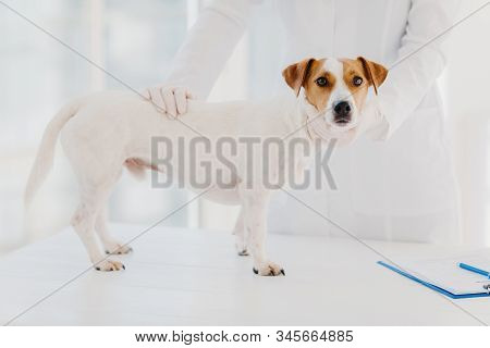 Cropped Image Of Professional Vet Doctor Examines Sick Pedigree Dog In Clinic, Pose Near White Table