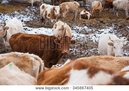 Cows On A Farm In The Winter
