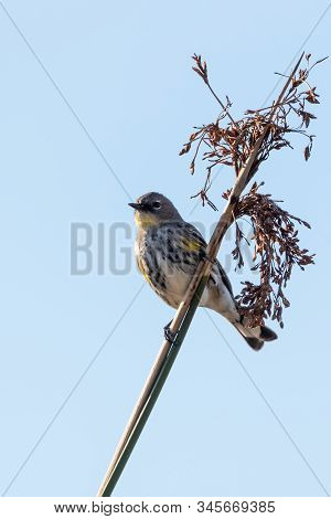 Watchful Female Pine Warbler Perched Against Blue Sky On Bush Branch With Head Looking To Right For