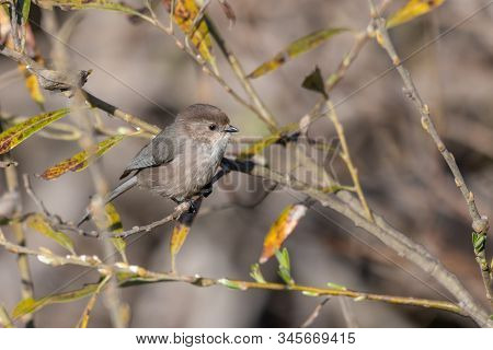 Watchful Male Bushtit With Dark Eyes Perched On Bush Branch Looking To Left For Danger.