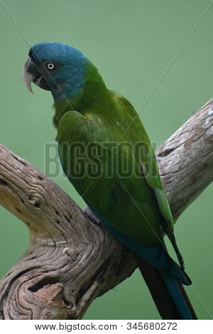 Gorgeous Cuban Parrot With Pretty Green And Blue Feathers.