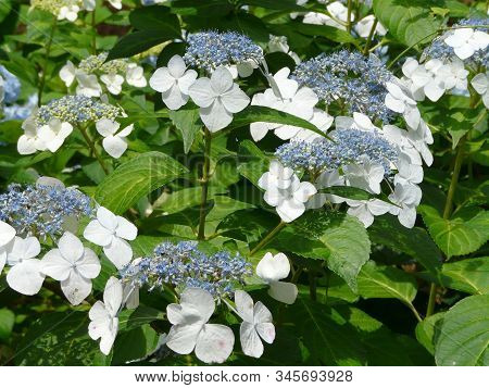 Closeup Of Showy White Sterile Flowers On A Big-leaf Or French Lacecap Hydrangea, Surrounded By Its