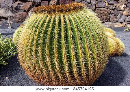 Golden Barrel Cactus  In Jardin De Cactus By Cesar Manrique On Canary Island Lanzarote, Spain