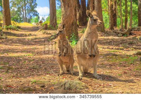 Two Kangaroos, Macropus Rufus, Standing Upright In The Tasmanian Forests Of Australia. Australian Ma