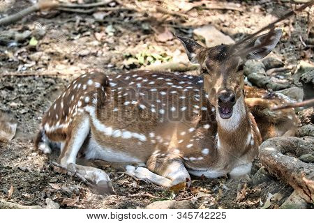 The Chital Also Know As Spotted Deer Only Found In Indian Subcontinent Has Spot Patterns On Its Fur