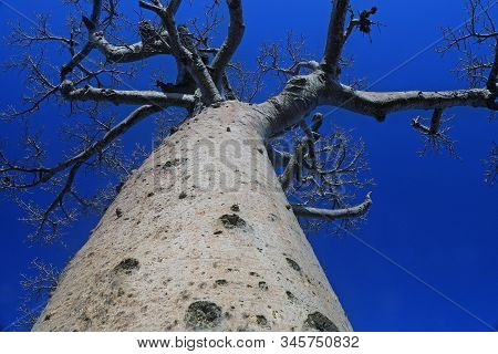 Close Up Of Large Baobab Tree Trunk And Branches With Blue Sky In Background At Baobabs Avenue, Moro