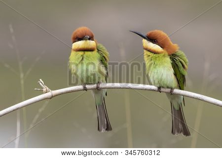 Two Chestnut-headed Bee-eater On The Wood Stick Shaking Feather , Aves, Bird, Colourful, Beautiful B