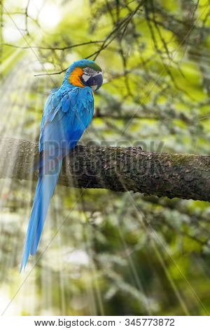 The Blue-and-yellow Macaw (ara Ararauna), Also Known As The Blue-and-gold Macaw Sotting On The Branc