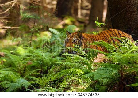 The Siberian Tiger (panthera Tigris Tigris),also Called Amur Tiger (panthera Tigris Altaica) On A Me