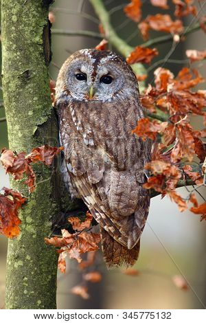 The Tawny Owl Or Brown Owl (strix Aluco) Sitting On A Branch In The Forest. Owl With Colorfull Backg
