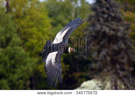 The Andean Condor (vultur Gryphus) Flies With Green Trees In The Background. Big Predator Flying In