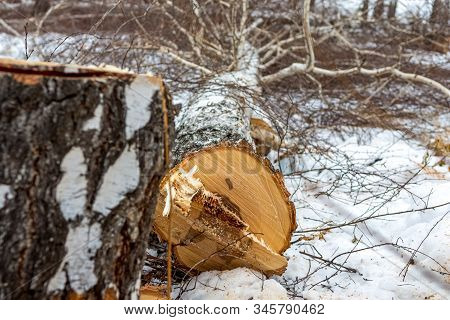 A Birch Tree Is Lying On The Ground In The Snow After Working As A Logger With A Chainsaw.