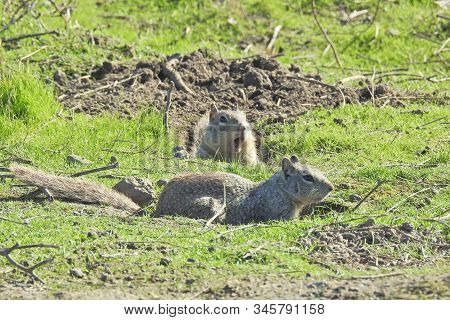 Ground Squirrels Enjoying A Sunny Day In The Merced National Wildlife Refuge, Northern San Joaquin V