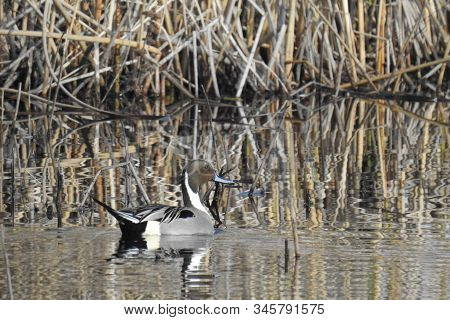 Northern Pintail Duck Swimming In The San Luis National Wildlife Refuge, California.