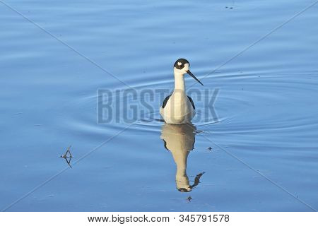 White-backed Stilt Wading In The Shallow Waters Of Merced National Wildlife Refuge, In The Northern