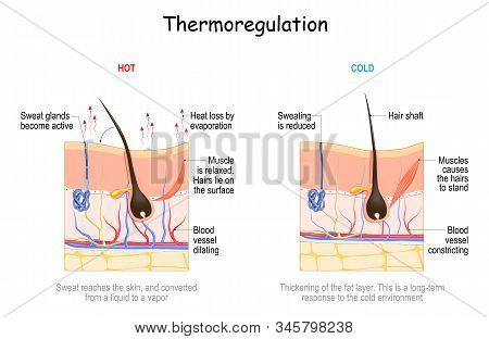 Skin In Thermoregulation. Body Temperature Regulation. If The Body Is Too Hot, Blood Vessels Dilate.