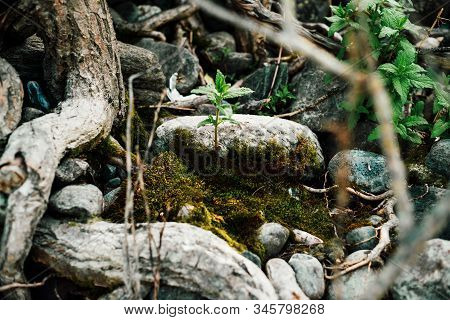 Small Green Sprout Of Tree Grows From Roots. Nature Sunny Background Of Beautiful Roots Of Deciduous