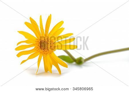 Arnica Flower Isolated On A White Background