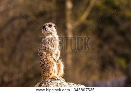 Funny Image From African Nature. Cute Meerkats, Suricata Suricatta, Sitting In The Sand Desert. Meer