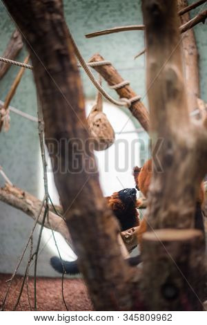 Profile Of A Red Ruffed Lemur Closeup Indoor Zoo Cage Play Love Kiss Couple Romantic Mating