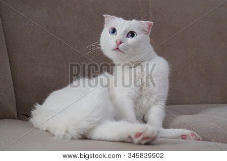 Cute white Scottish fold cat with blue eyes