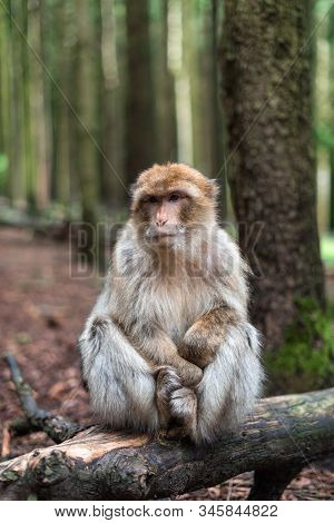 Macaque Monkey Portrait With Rainforest Background Closeup Fluffy Cute Emotional Monkey Forest Zoo B