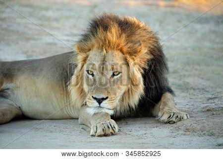 Big male African lion (Panthera leo) resting in early morning light, Kalahari desert, South Africa