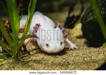 A Closeup Of A Axolotl Walking On Sand.  Vancouver Aquarium  Bc Canada